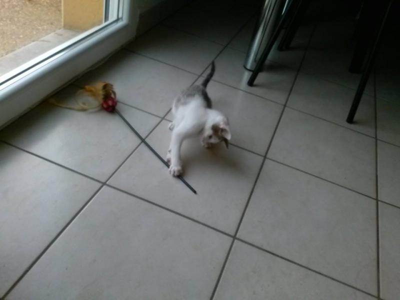 ASTUCE (chaton mâle)gris et blanc réservé 10441310