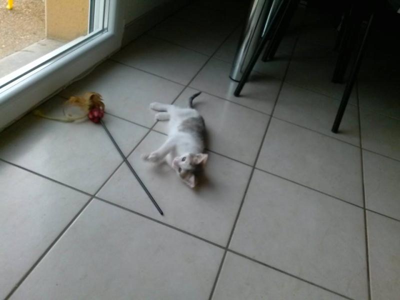 ASTUCE (chaton mâle)gris et blanc réservé 16015810
