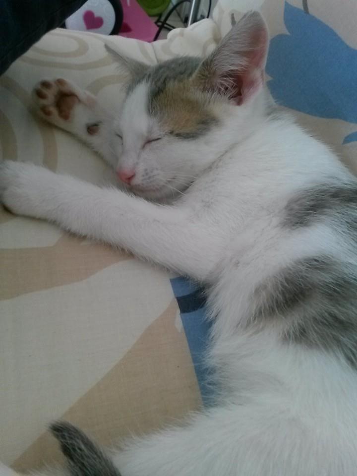ASTUCE (chaton mâle)gris et blanc réservé 16221610
