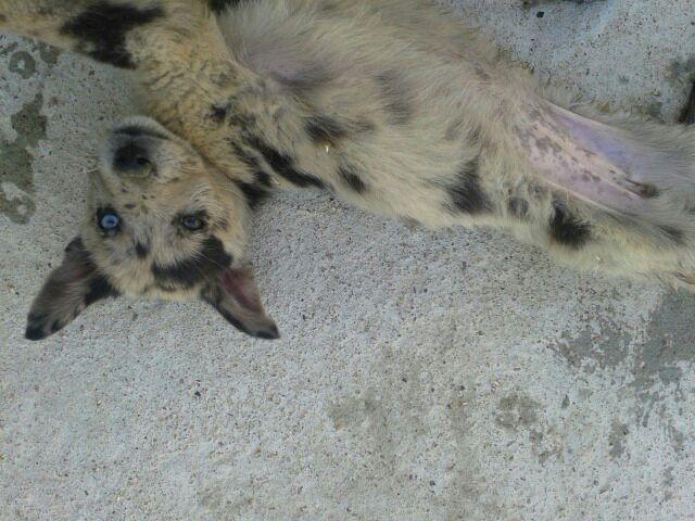 TCHEK (chiot femelle berger australien)réservée 20140720