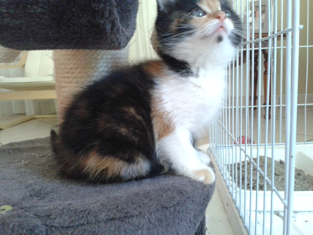 CERISE (chaton femelle tricolore) 20140915