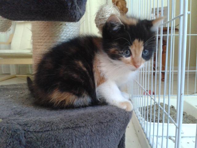 CERISE (chaton femelle tricolore) 20140916