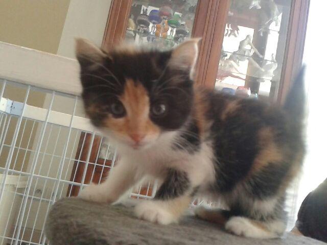 CERISE (chaton femelle tricolore) 20140919