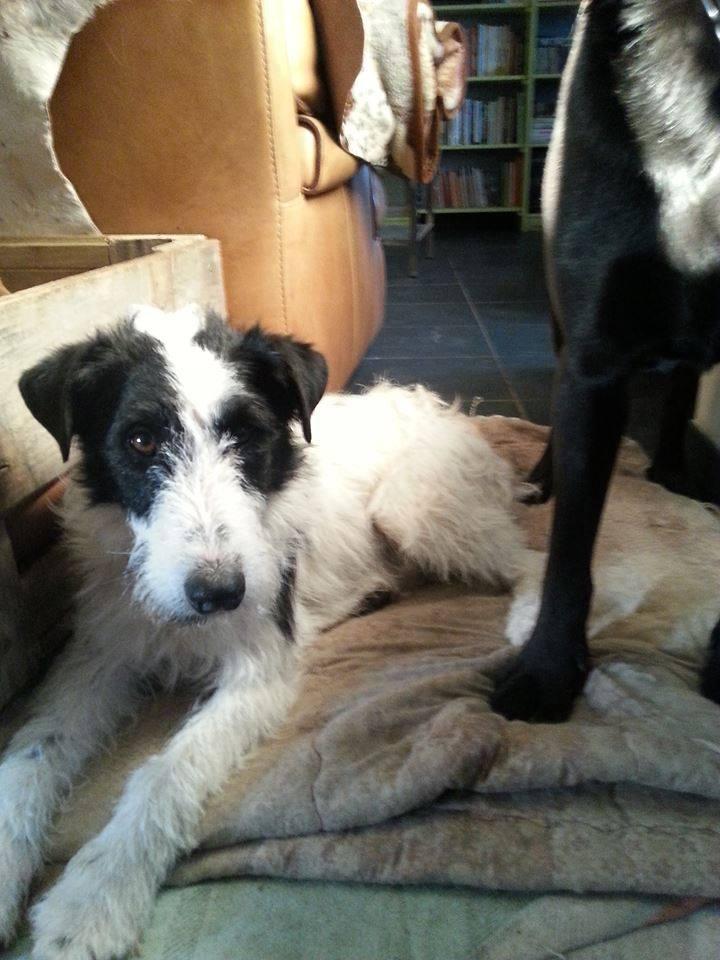 TITI (mâle croisé fox noir et blanc) réservé 98847610