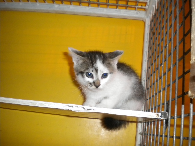 ELIXIR (chaton mâle tigré blanc et noir) Elixyr10