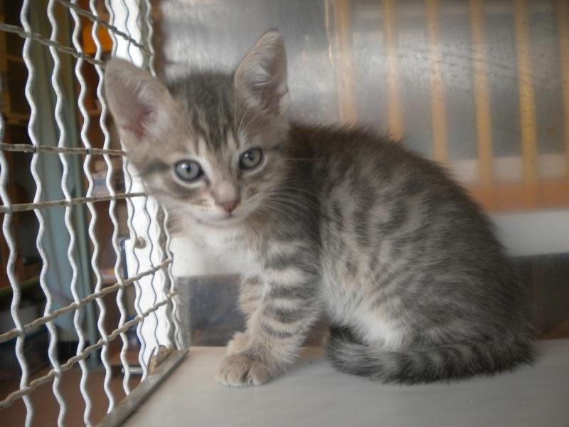 HYPERION (chaton mâle tigré gris) Hyperi10