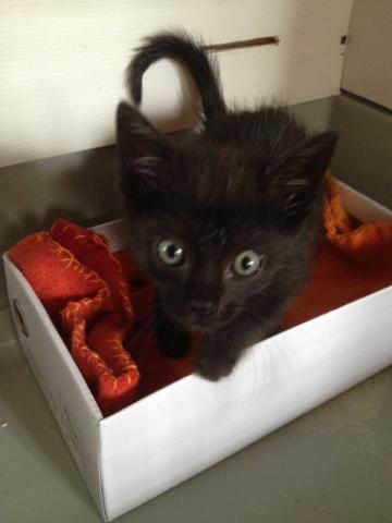REGLISSE (chaton mâle noir) Img_3617