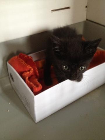 REGLISSE (chaton mâle noir) Img_3618
