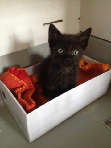 REGLISSE (chaton mâle noir) Img_3619