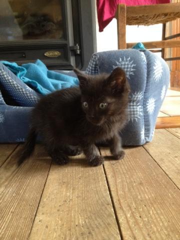 REGLISSE (chaton mâle noir) Img_3620