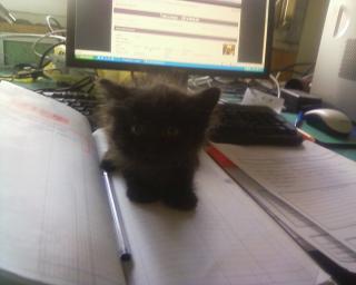 BABE (chaton femelle noire angora) Photos10