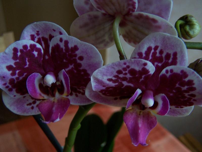 meine orchideen  Pflanz16