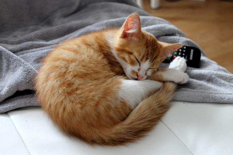 Jules chaton roux et blanc né le 11/04/2014 10499610