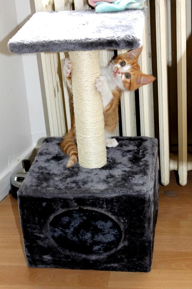Jules chaton roux et blanc né le 11/04/2014 10508410