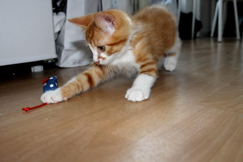 Jules chaton roux et blanc né le 11/04/2014 10509310