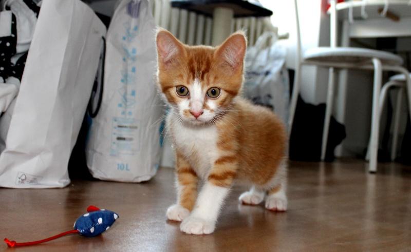 Jules chaton roux et blanc né le 11/04/2014 10833410