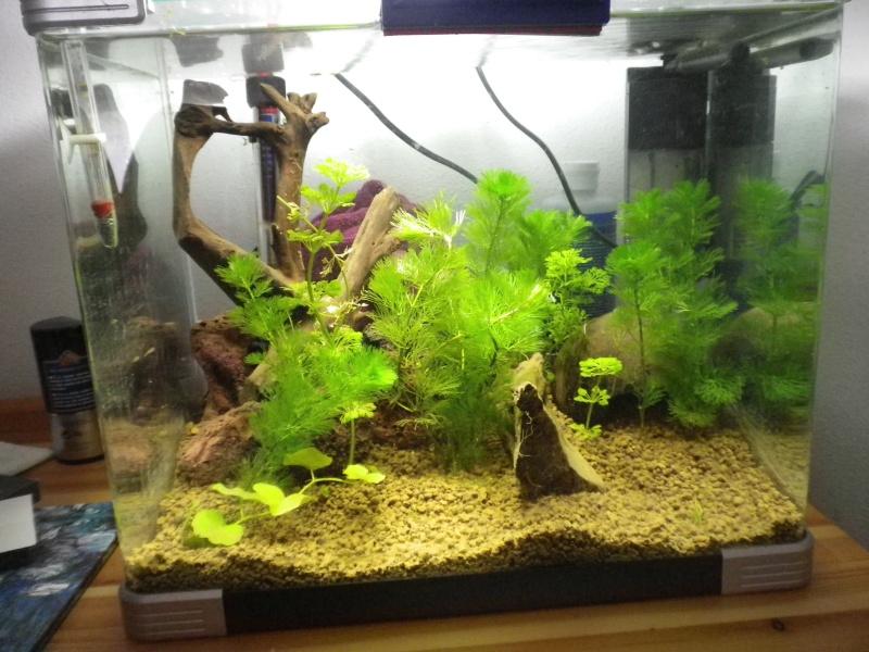 Nano aquarium arcadia 40L pour crystal red Imgp2611