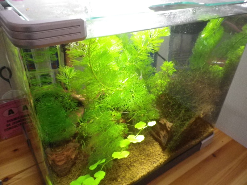 Nano aquarium arcadia 40L pour crystal red Imgp2620