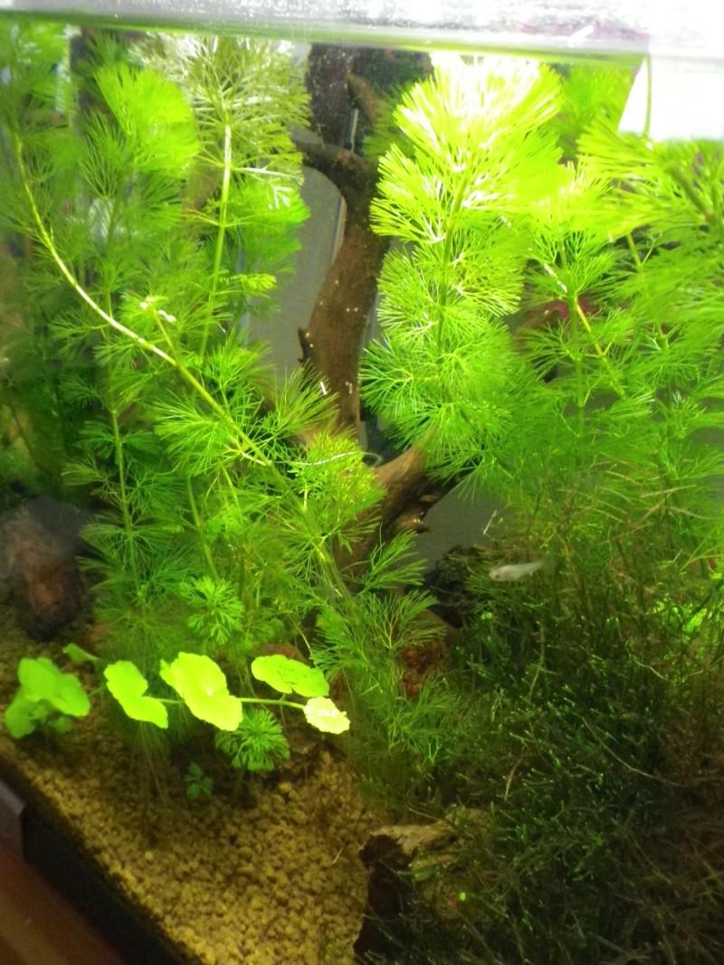 Nano aquarium arcadia 40L pour crystal red Imgp2626