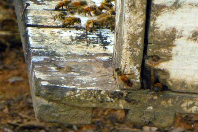 Pauvres abeilles... et nous-mêmes ! Abeill11