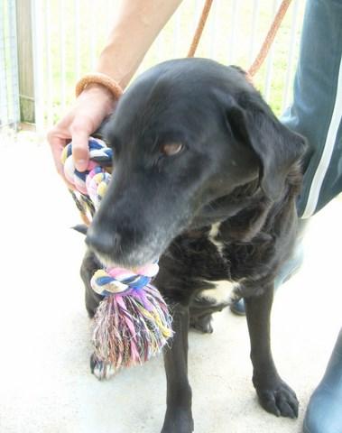 CHIMENE Labrador noire/blanche 250269810518248 RESERVEE Femell13