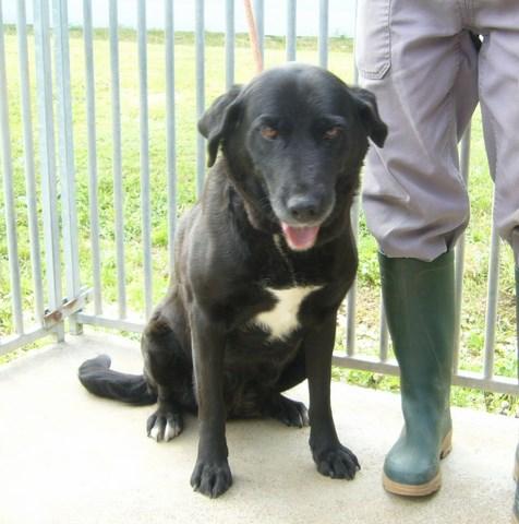 CHIMENE Labrador noire/blanche 250269810518248 RESERVEE Femell15