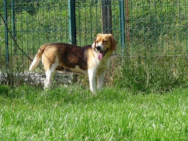 KATOU Beagle tricolore 250269810182315 Katou_11