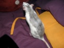 Portée de ratounes sur bordeaux P1190014