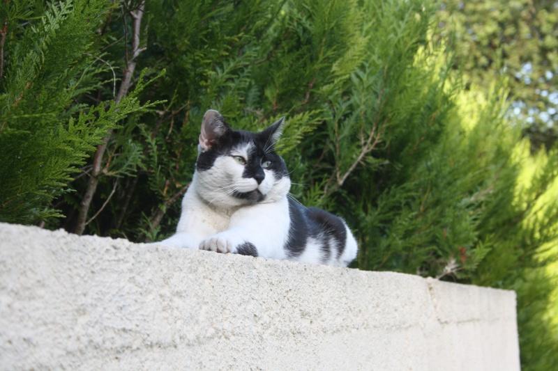 Chat noir et blanc, à Corbie 80 chez moi. Img_3913