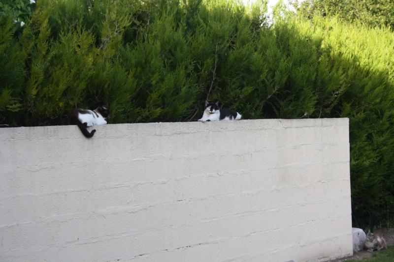 Chat noir et blanc, à Corbie 80 chez moi. Img_3914