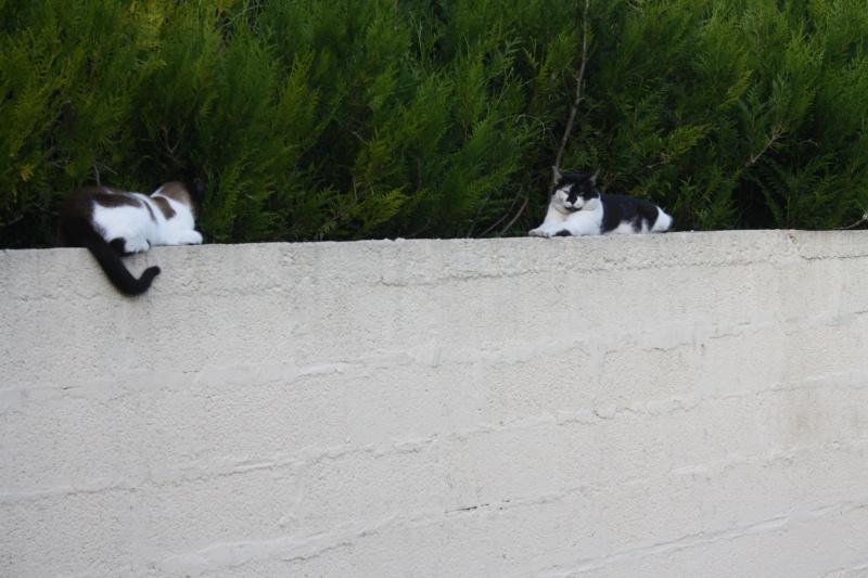 Chat noir et blanc, à Corbie 80 chez moi. Img_3915