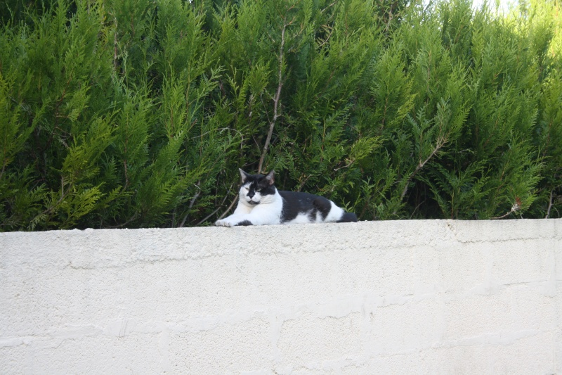 Chat noir et blanc, à Corbie 80 chez moi. Img_3916