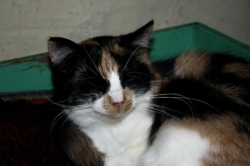 Malice - Tricolore  poils mi-longs - née en 2010*** Img_8311