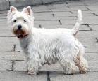 West Highland Terrier Nr.5 und 6 Westi10
