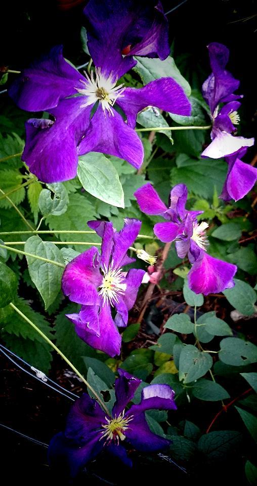 Hahnenfußgewächse (Ranunculaceae) - Winterlinge, Adonisröschen, Trollblumen, Anemonen, Clematis, uvm. - Seite 6 C_viti11