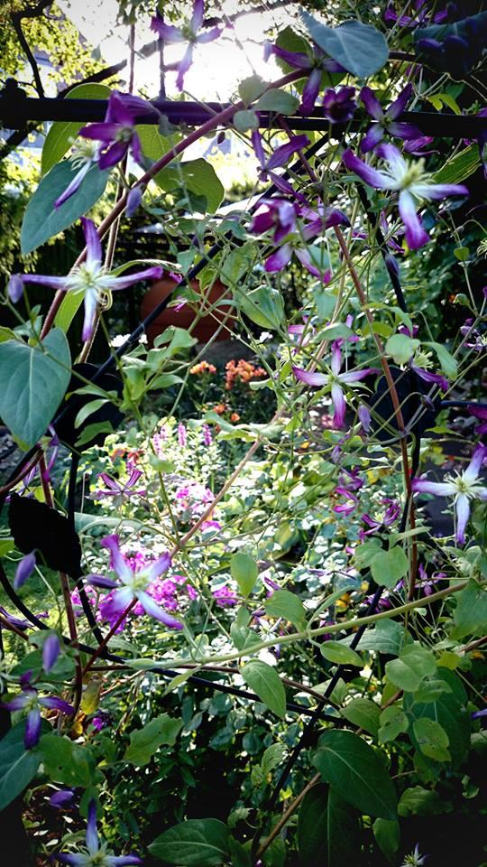 Hahnenfußgewächse (Ranunculaceae) - Winterlinge, Adonisröschen, Trollblumen, Anemonen, Clematis, uvm. - Seite 5 Clemat10