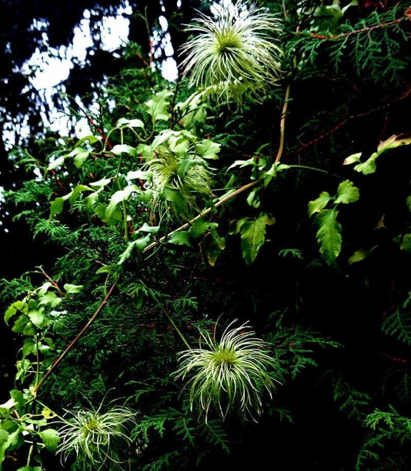 Hahnenfußgewächse (Ranunculaceae) - Winterlinge, Adonisröschen, Trollblumen, Anemonen, Clematis, uvm. - Seite 6 Clemat11