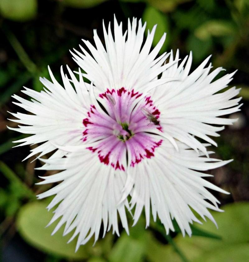 Wildblumen ( Sammelthread) - Seite 6 Dianth10