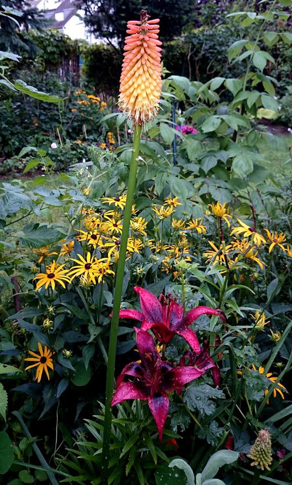 Lilien(artige) -  natürlich Lilien, aber auch Inkalilien, Zeitlose, Germer und Stechwinden - Seite 6 Knipho11