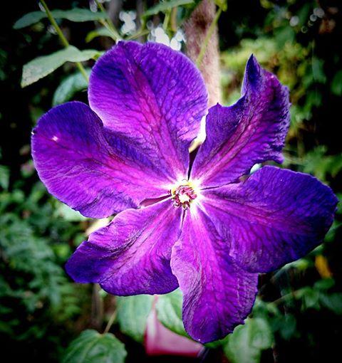 Hahnenfußgewächse (Ranunculaceae) - Winterlinge, Adonisröschen, Trollblumen, Anemonen, Clematis, uvm. - Seite 5 Vitice10
