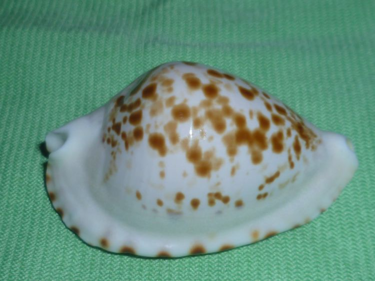 Zoila ketyana bataviensis - Lorenz & Morrison, 2001 P1100727