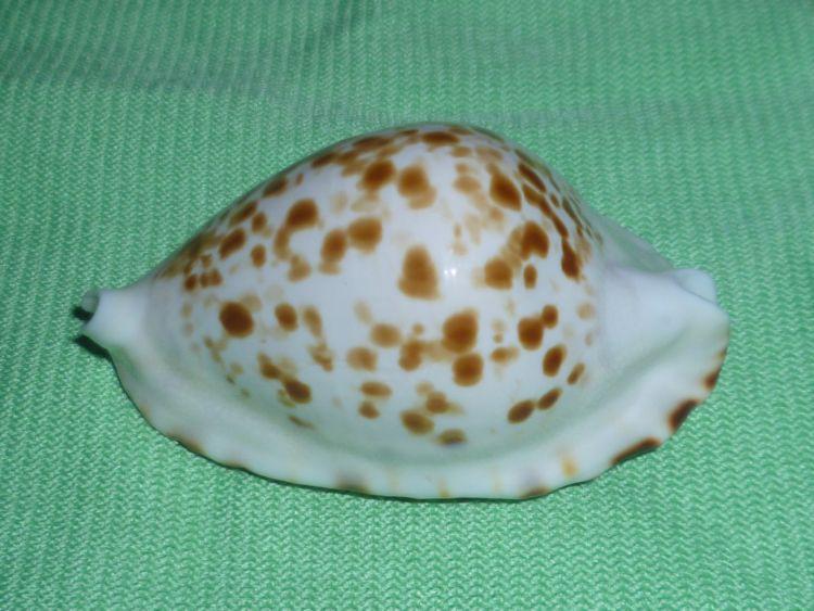 Zoila ketyana bataviensis - Lorenz & Morrison, 2001 P1100728