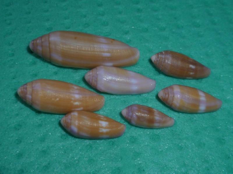Conus (Leporiconus) tenuistriatus  GB Sowerby II, 1858 - Page 3 P1100812