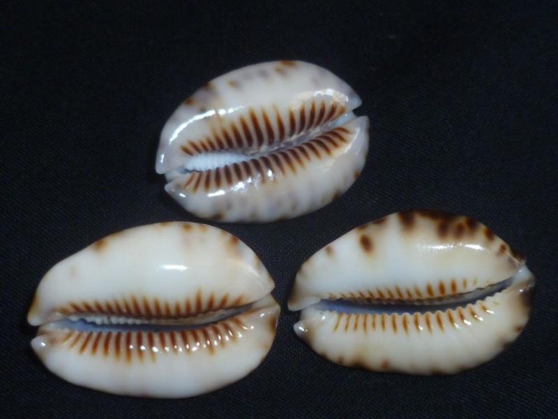 Mauritia depressa depressa - J.E. Gray, 1824 P1100832