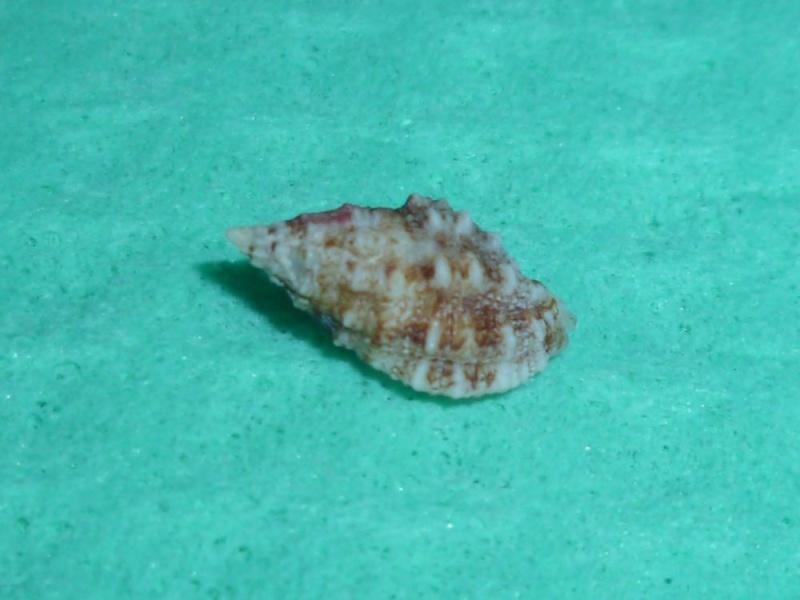 Pascula muricata - (Reeve, 1846) P1110011