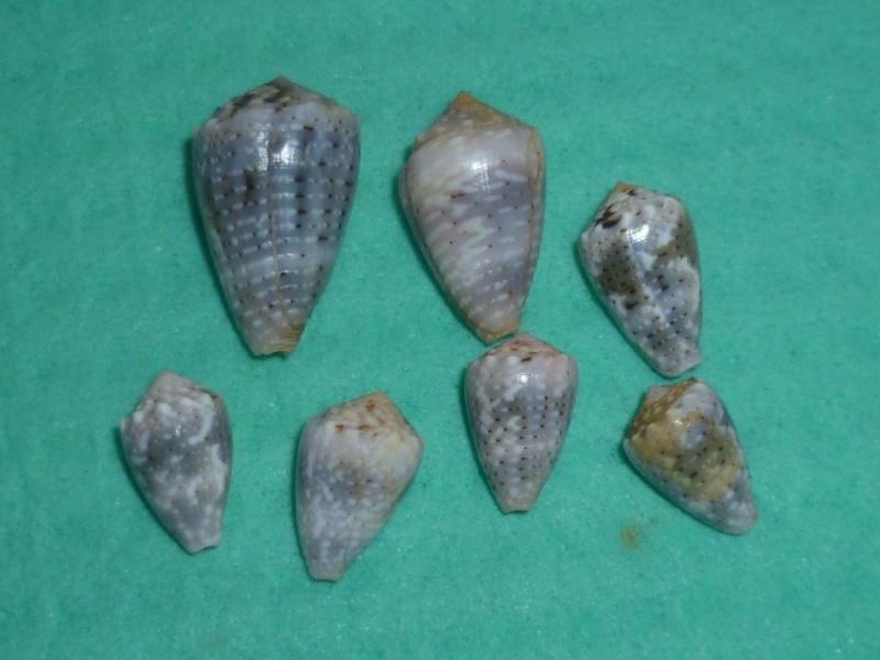 Conus (Virroconus) aristophanes - (G. B. Sowerby II, 1857) P1110113