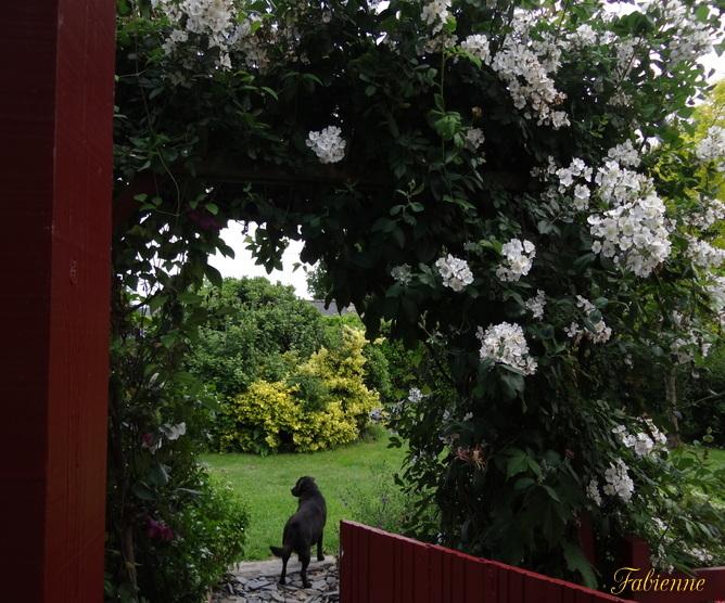 Un petit coin fleuri en BRETAGNE ... Mshvey10