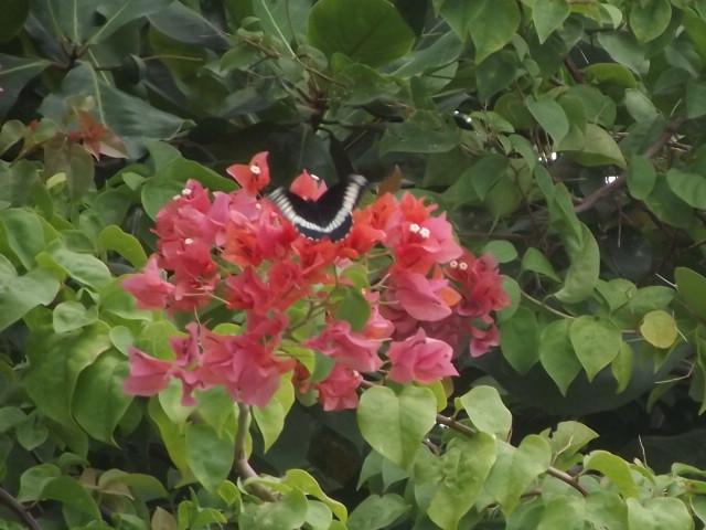 """Papillons de """" chez moi """" Dscf1110"""