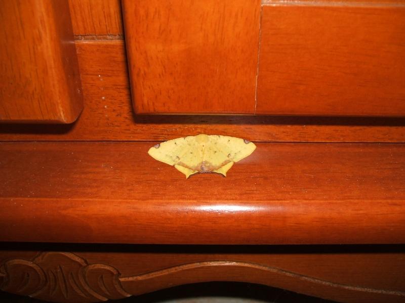 """Papillons de """" chez moi """" Dscf5810"""