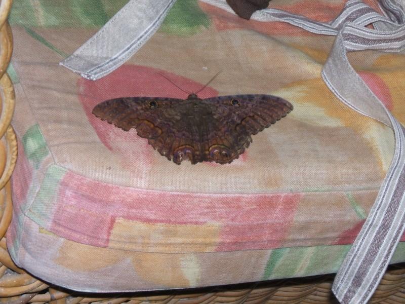 """Papillons de """" chez moi """" Dscf5910"""
